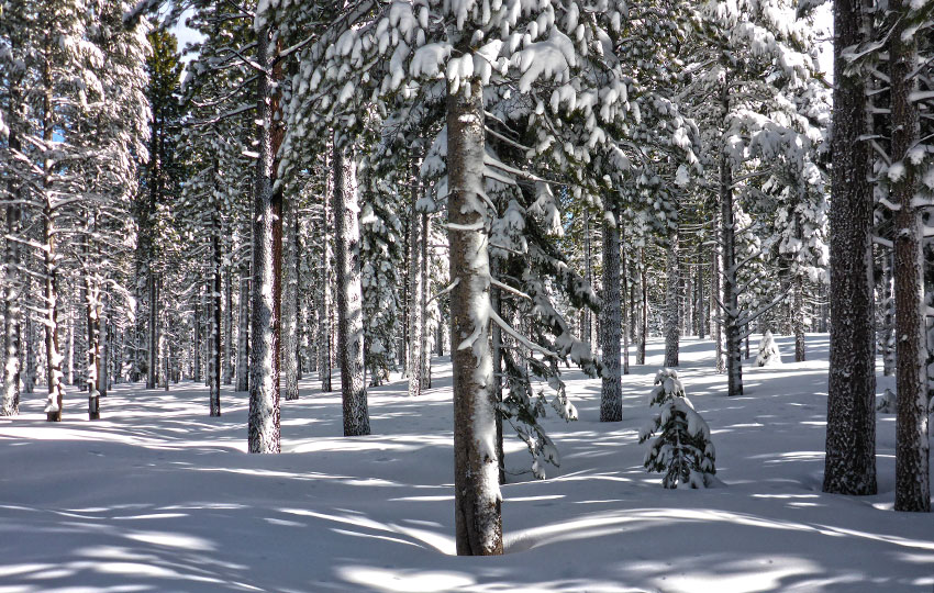 Pine trees covered with snow on a sunny day