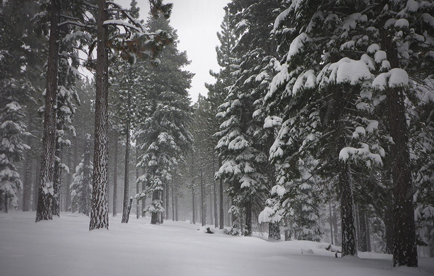 Snow-flocked trees in a forest beneath overcast skies