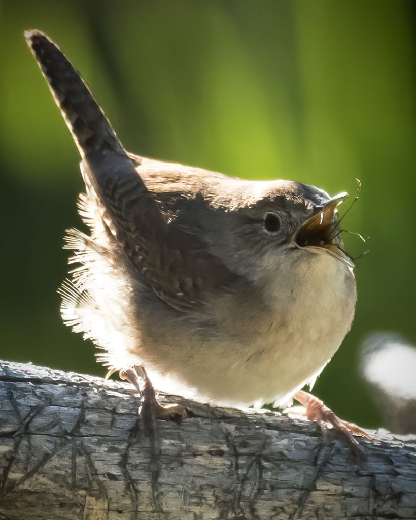 House Wren eating an insect