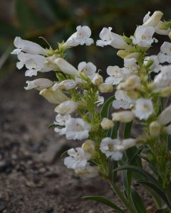 Royal Penstemon - white morph (Penstemon speciosus). July 23, 2019.© Jared Manninen