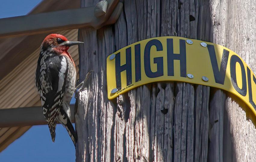 Woodpecker on the side of a power line pole