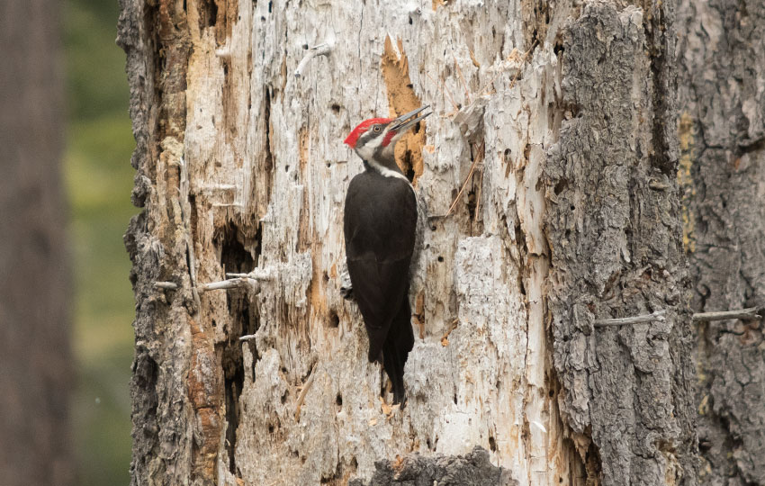 Woodpecker on the side of a dead tree stump
