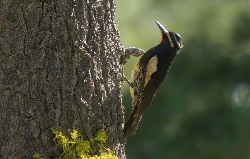 Woodpecker clinging to the side of a tree