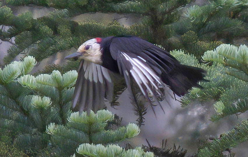 Woodpecker flying past a coniferous tree