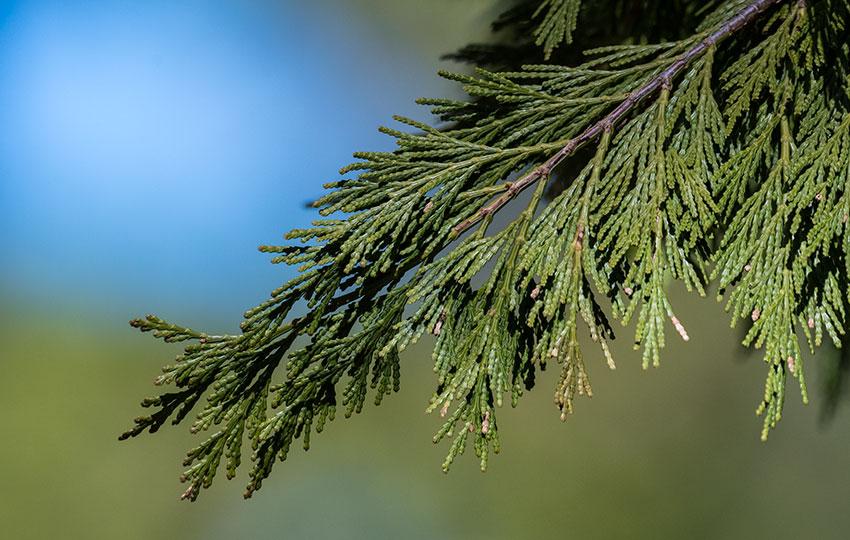 California Incense-Cedar (Calocedrus decurrens) Needles