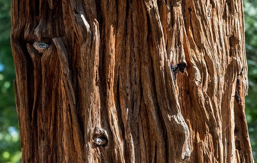 California Incense-Cedar (Calocedrus decurrens) Bark