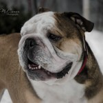 Featured Dog Breed {English Bulldog} with @mackie_bulldog & @All_about_princey #Instagram