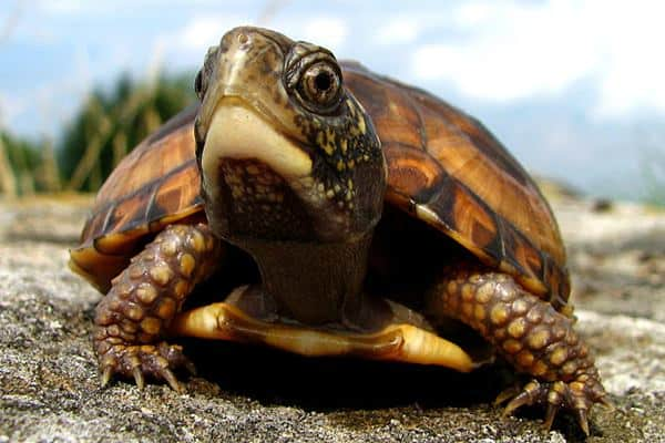 Long Turtle How Can Live