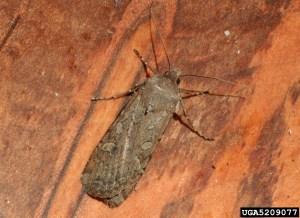 Bastard bug (Miller Moth)