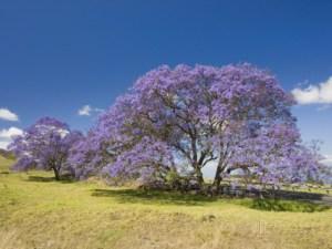 david-fleetham-lavender-colored-blossoms-on-jacaranda-trees-jacaranda-mimosifolia-in-a-field-maui-hawaii-usa