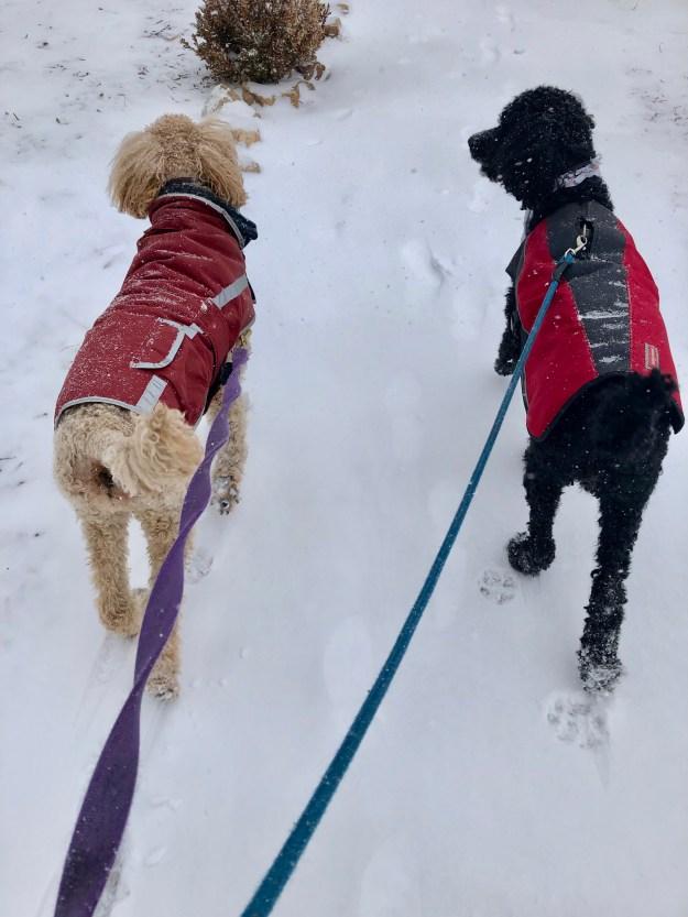 Poodles-Iditarod Style