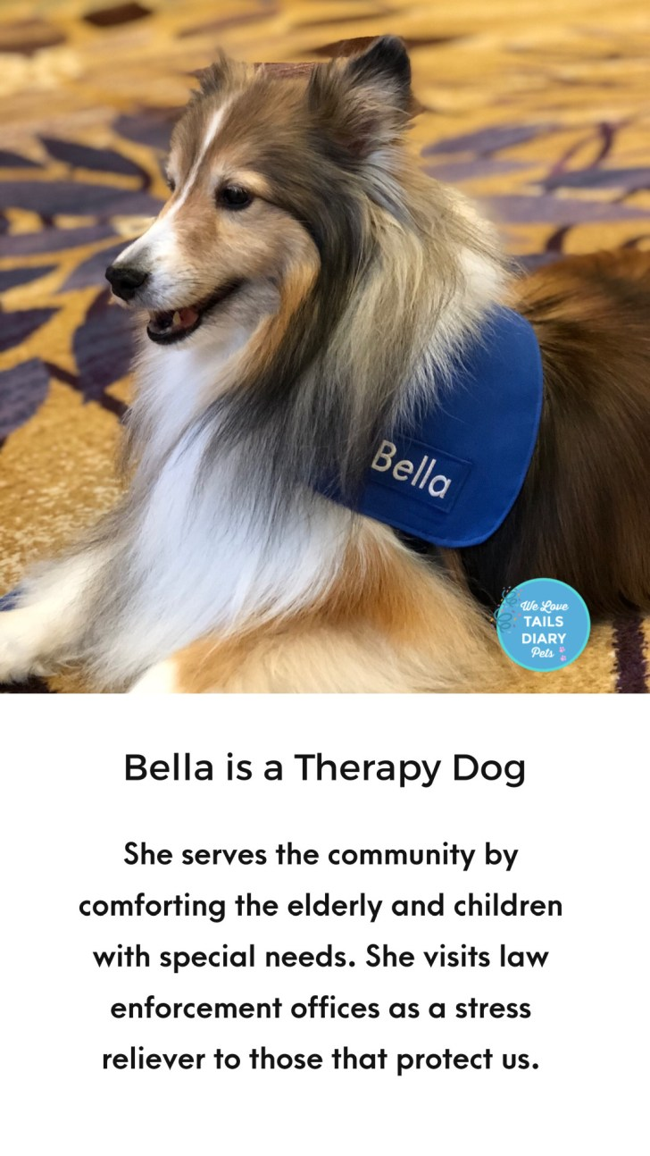 Bella is a therapy sheltie
