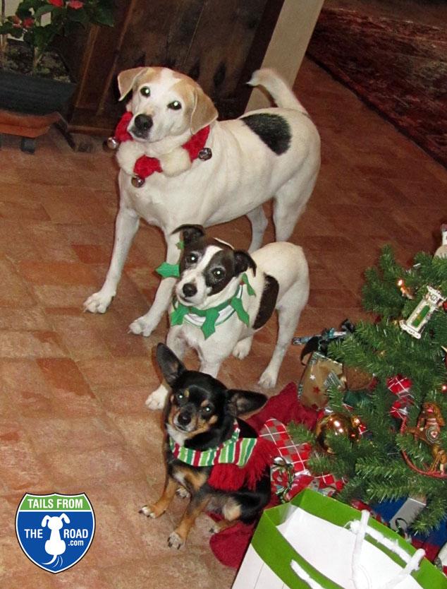 Daisy Dog, Mick & Romeo at Christmas