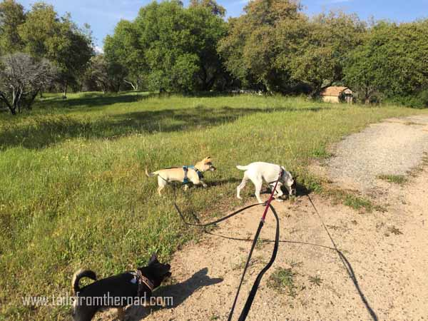 Learning to walk on a long line leash
