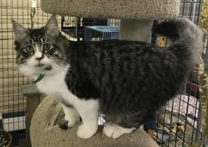 Playful 8 month old male tabby and white.  He does excellent with other kittens and dogs.   He has little munchkin legs.  He is very outgoing and lovable.  Adoption fee $45