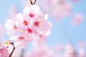 scenery-flower-20160321-01