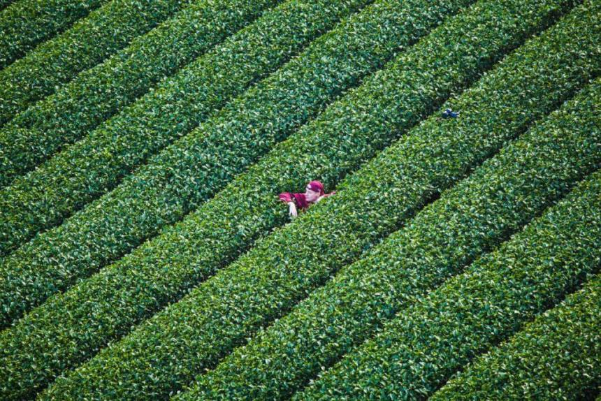 Sheng Le Farm tea plantation