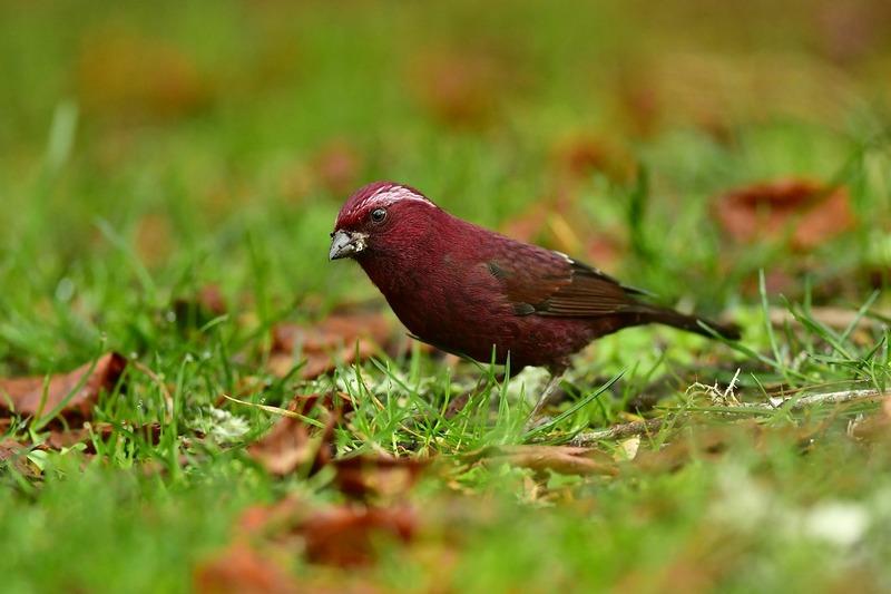 Taiwan-Scene-Birdwatching-Taiwan-Rosefinch