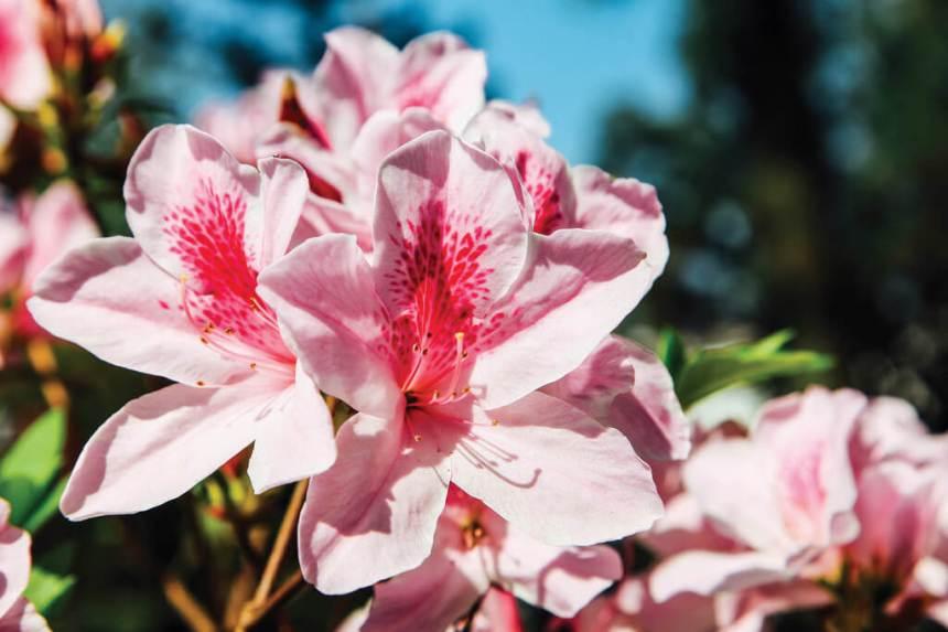 Flower-Viewing-in-Taipei-Taipei-azaleas-festival