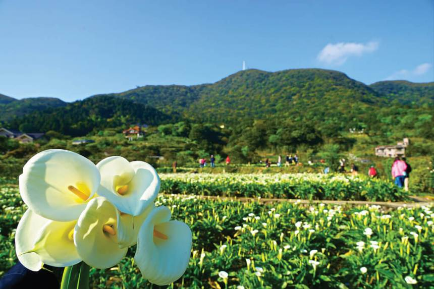 Flower-Viewing-in-Taipei-Yangmingshan-calla-lilly-festival-calla-lily-farms-in-zhuzhihu-1.jpg