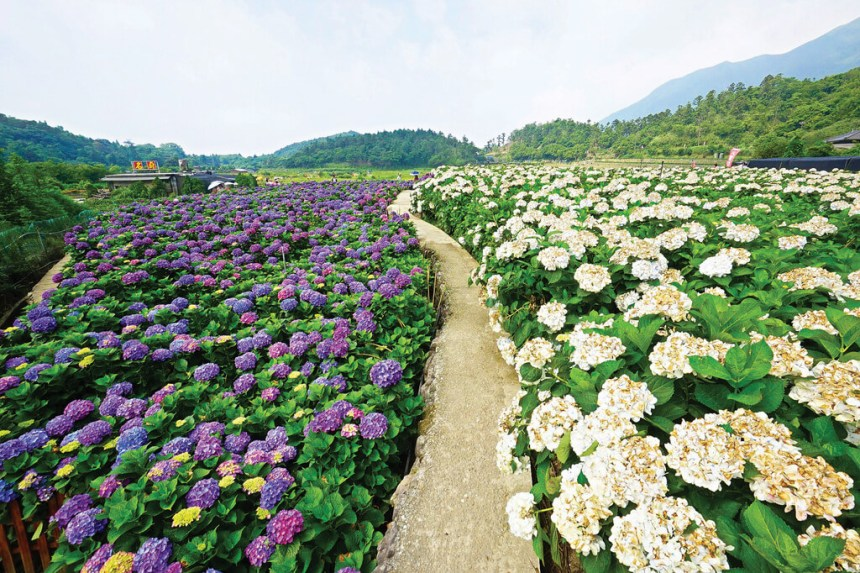 Flower-Viewing-in-Taipei-Yangmingshan-hydrangeas-farms-in-zhuzihu-1.jpg