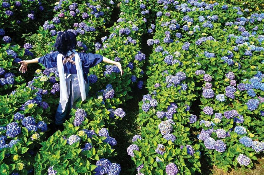 Flower-Viewing-in-Taipei-Yangmingshan-hydrangeas-farms-in-zhuzihu-2.jpg