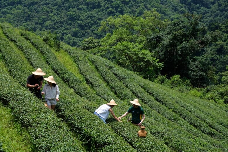 the tea plantation in Yilan for tourist experiencing tea picking.
