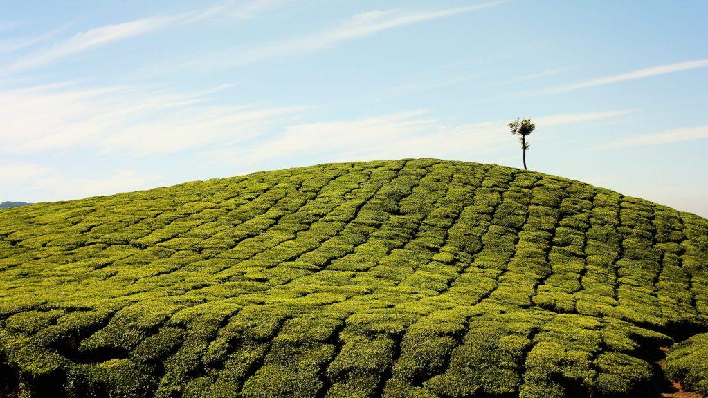 2020新年茶飲? 四季春茶讓你絕對精采 買茶最推薦- 無可挑Tea