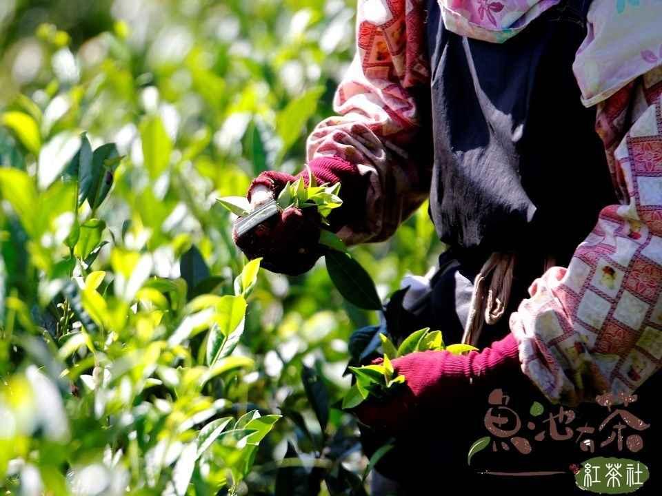 首選高級茶葉