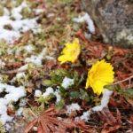 冬と春のせめぎ合い。雪、福寿草、紅梅