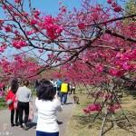 后里崴立機電│工廠內也有百棵櫻花樹的櫻花公園!紅白粉三種色系櫻花一次滿足~