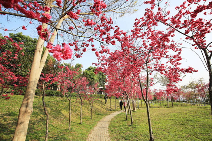 2018 02 24 134649 - 東勢河濱公園-對面小公園櫻花盛開