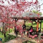 沐心泉休閒農場-來沐心泉被滿滿的盛開櫻花包圍吧