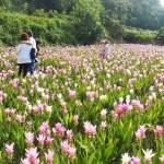 外埔薑荷花園,賞花小秘境,桃紅色薑荷花盛開中,賞花趁現在~