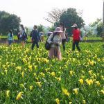 外埔海芋田,黃澄澄花海,可走進去擁抱黃色海芋,花期到4月底~