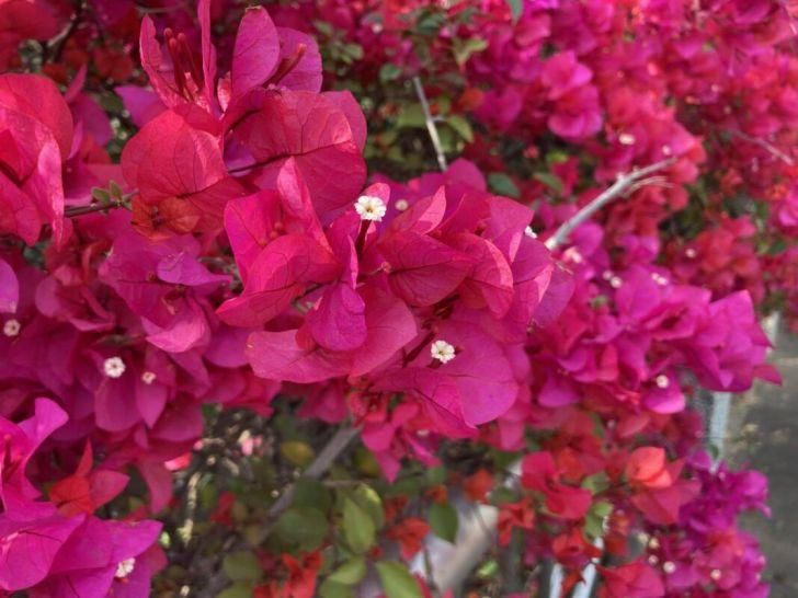 2021 03 10 235851 - 台中東大公園九重葛盛開中,宛若瀑布炸出圍籬,一片片桃紅色花牆好好拍~