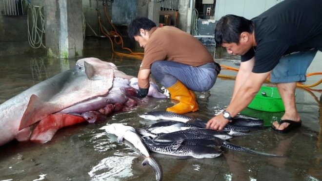 Live baby sharks being extracted from a Tiger shark caught in Taiwan