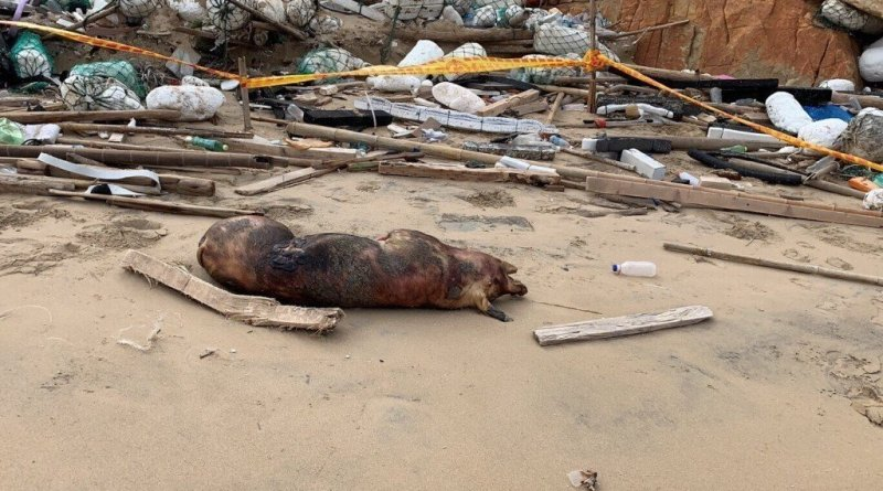 pig carcass found on Kinmen infected with ASF