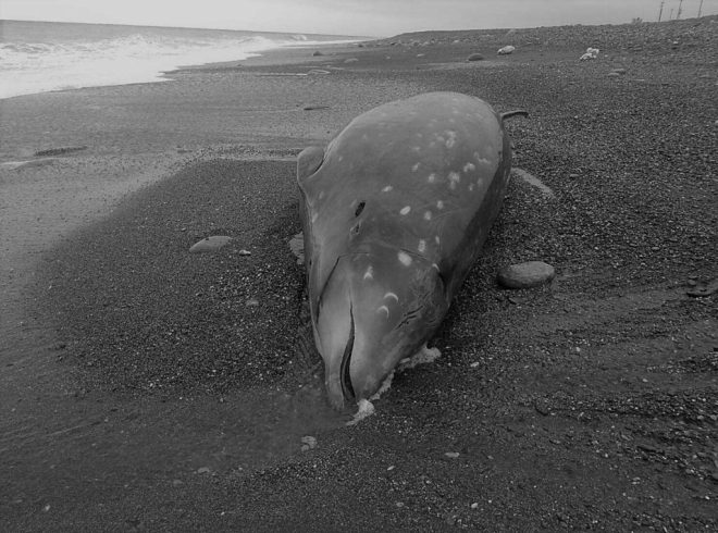 dead Cuvier's beaked whale in Taitung County, Taiwan.