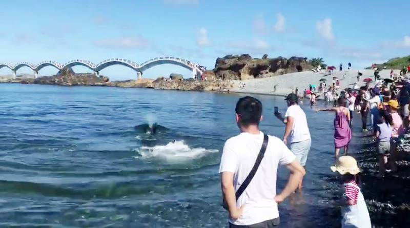 pilot whale close to tourists on shore at Sanxiantai, Taitung County, Taiwan