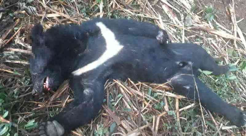 Formosan black bear killed by poachers