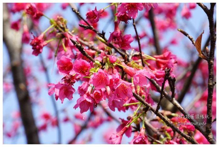 台北景點推薦大同山櫻花林03825