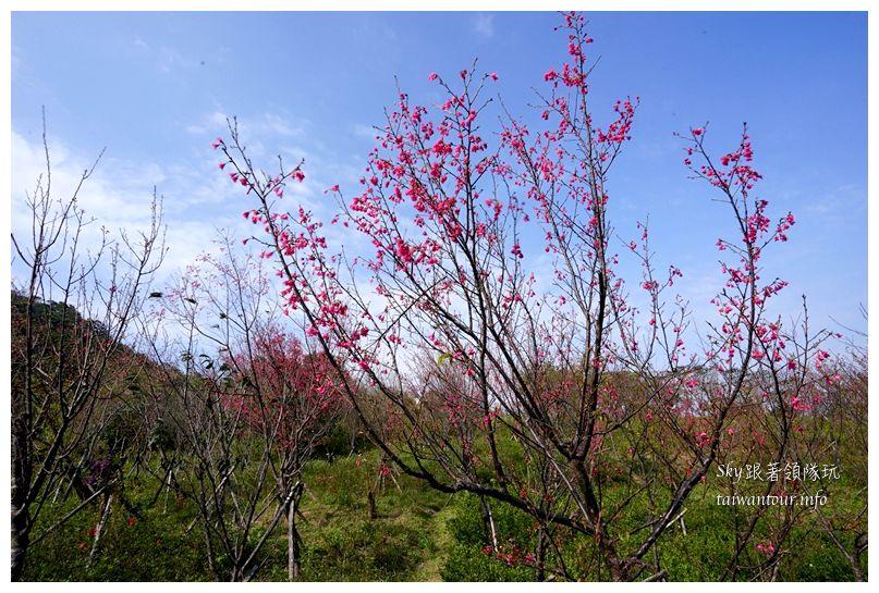 台北景點推薦大同山櫻花林03855