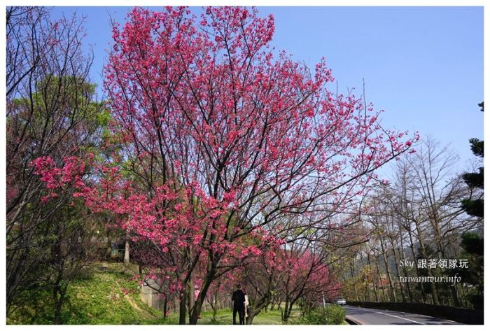 台北景點推薦龜山壽山巖觀音廟櫻花03687