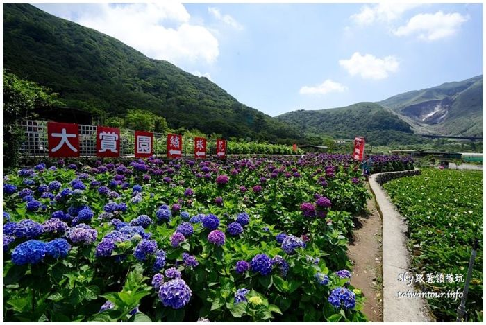 陽明山竹子湖繡球花大賞園DSC02712