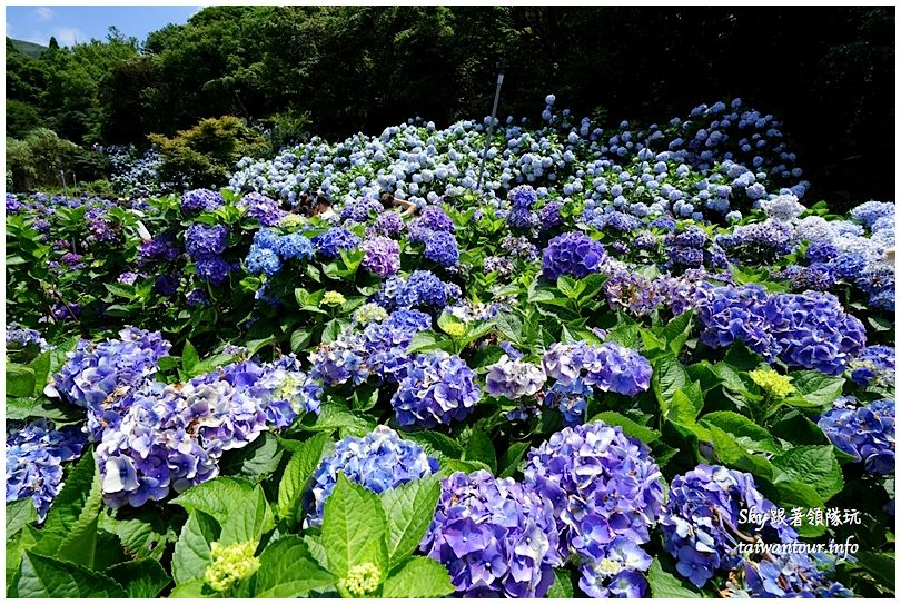 陽明山竹子湖繡球花DSC02891