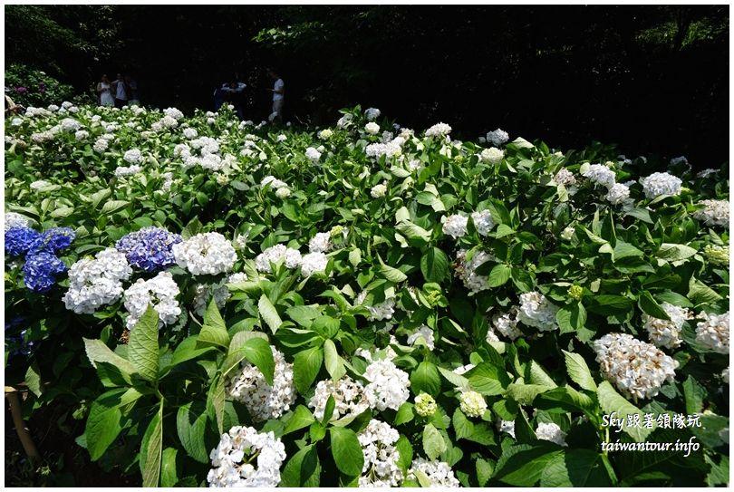 陽明山竹子湖繡球花DSC02933