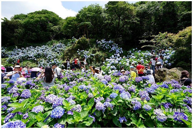 陽明山竹子湖繡球花DSC02970