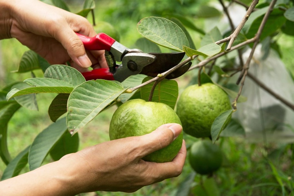 Taj Agro is one of leading manufacturer of White Guava pulp from India