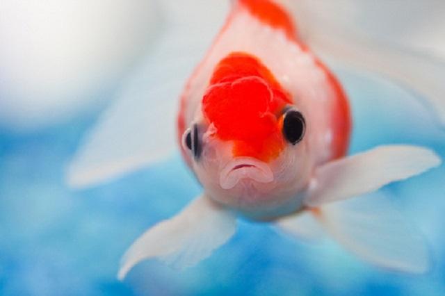 有力メディアで次々に紹介された「ヒトと金魚の注意力の研究」がウソである可能性について